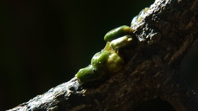 mistletoe seeds in sticky liquid attached on a tree - sticky stock videos & royalty-free footage