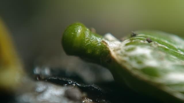 mistletoe seeds - sticky stock videos & royalty-free footage