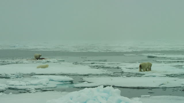 misty ws 3 polar bears eating on ice floes - small group of animals stock videos & royalty-free footage