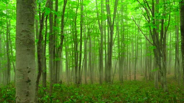 霧深いブナの森 - blk 3 - 木立点の映像素材/bロール