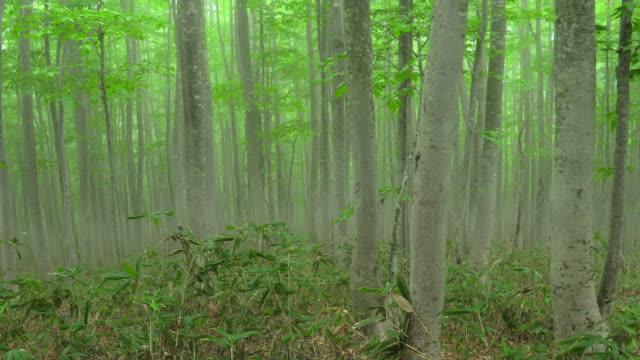 vídeos de stock, filmes e b-roll de floresta da árvore de faia misty | volume 2/4 - árvore de folha caduca