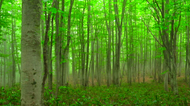 misty beech tree forest - tree trunk stock videos & royalty-free footage