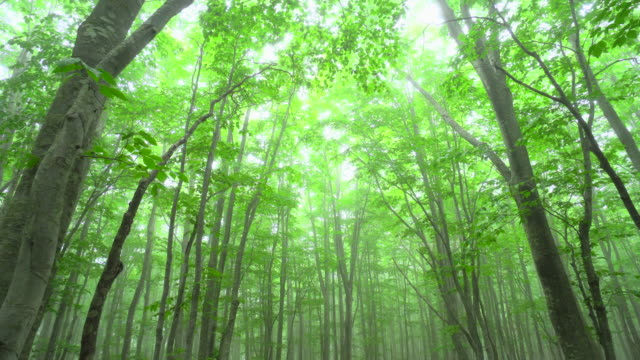 misty beech tree forest - aomori prefecture stock videos & royalty-free footage