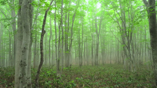 misty beech tree forest - plusphoto stock videos & royalty-free footage