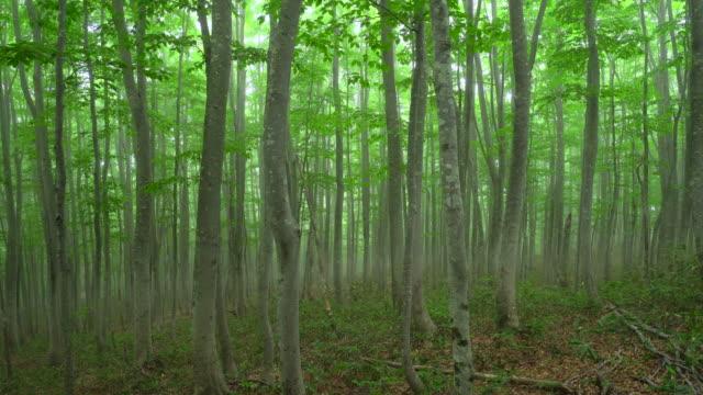 vídeos de stock, filmes e b-roll de floresta da árvore de faia misty | zoom para fora - faia árvore de folha caduca