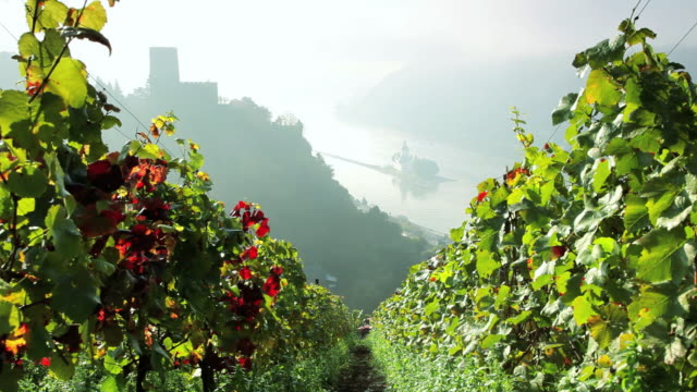 HA Misty covered Castle Gutenfels past row of grape vines / Kaub, Hess, Germany