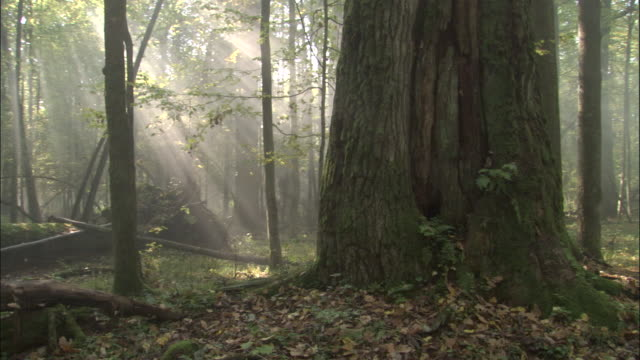 Misty forest, Bialowieza, Poland
