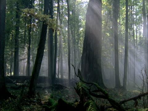 misty forest, bialowieza, poland - tree trunk stock videos & royalty-free footage