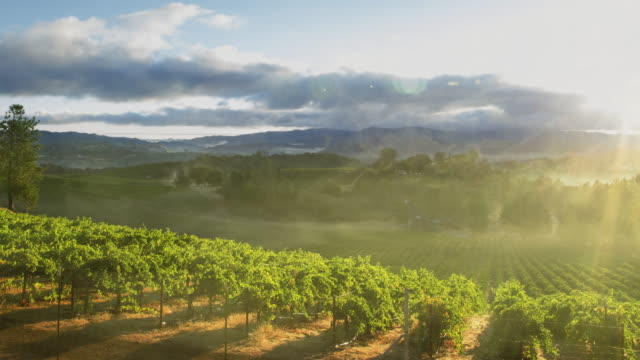 misty sunrise over scenic vineyard in california - dew stock videos & royalty-free footage