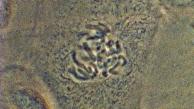 t/l mitosis of potoroo (potorous) cell - chromosome stock videos and b-roll footage