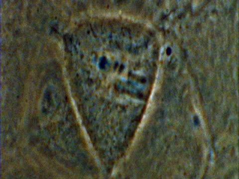 vídeos y material grabado en eventos de stock de t/l mitosis of potoroo (potorous) cell - membrana celular