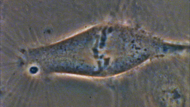 t/l, ecu, mitosis of potoroo (potorous) cell - dna video stock e b–roll