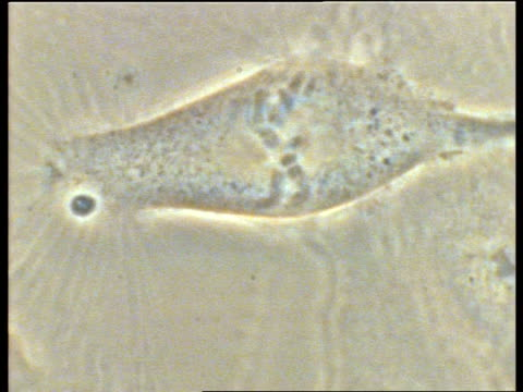 t/l mitosis of potoroo cells, cell division, chromosomes, chromatids - chromosome stock videos and b-roll footage