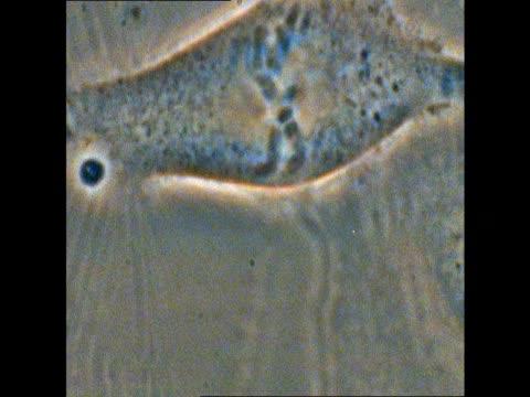 t/l mitosis of potoroo (potorous) cells - chromosome stock videos & royalty-free footage
