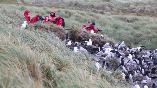 mixed black browed albatross and rockhopper penguins nesting colony on westpoint island in the falkland islands off argentina, in south america,... - animals in the wild stock videos & royalty-free footage