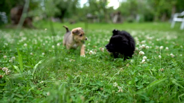 vídeos de stock e filmes b-roll de mixed breed puppies playing together - two animals