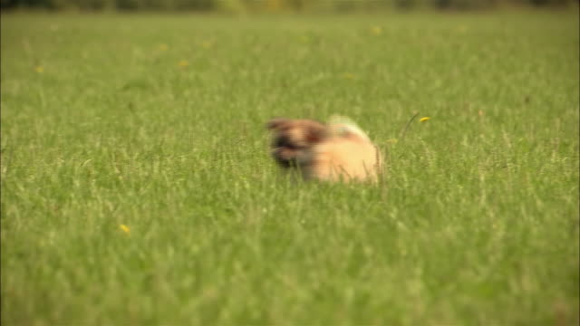 ms, pan, mixed breed puppy running in grass - cagnolino da salotto video stock e b–roll