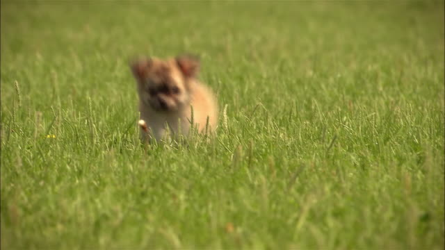 MS, FOCUSING, Mixed breed puppy running in grass