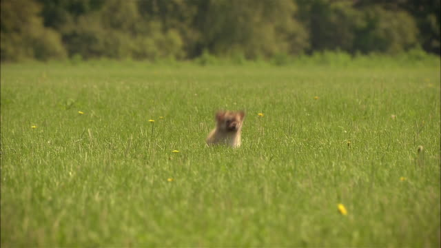 ms, pan, cu, mixed breed puppy running in grass - pure bred dog stock videos and b-roll footage