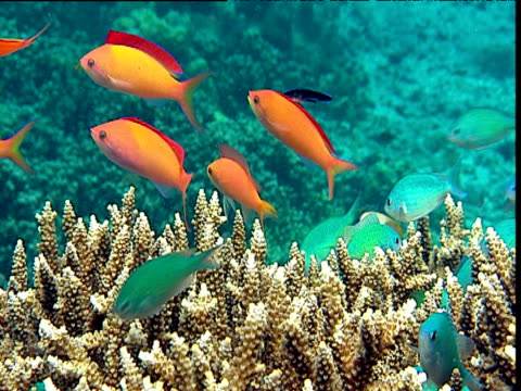 stockvideo's en b-roll-footage met mixed colourful reef fishes on reef, sulawesi - ongewerveld dier