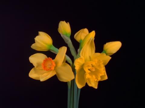 vídeos y material grabado en eventos de stock de mixed daffodils blooming - pistilo
