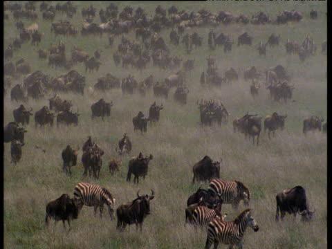 mixed herd of wildebeest and zebras walk on hazy savanna - steppenzebra stock-videos und b-roll-filmmaterial