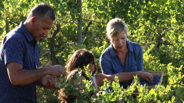 mixed race family pick blueberries, at organic farm - abundance stock videos & royalty-free footage