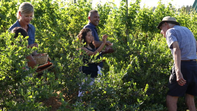 mixed race family pick blueberries, at organic farm - blueberry stock videos and b-roll footage