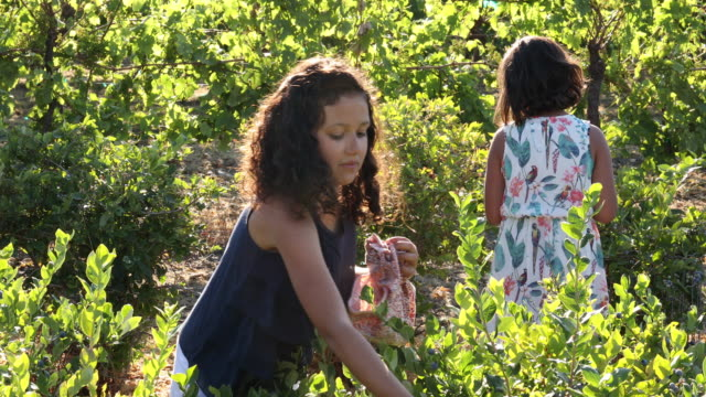 mixed race girls pick blueberries, at organic farm - navy blue stock videos & royalty-free footage