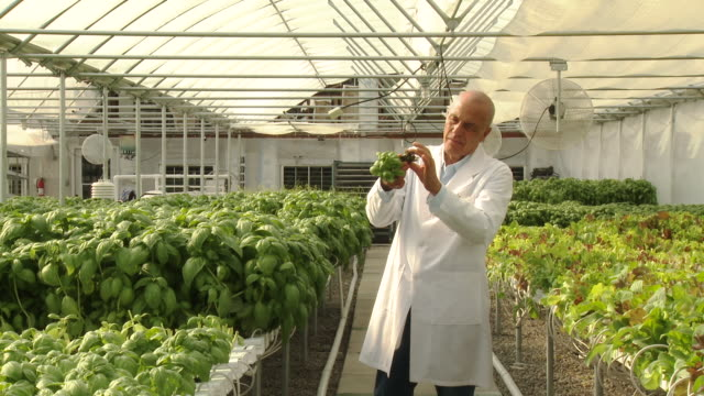 mixed race scientist checking basil in greenhouse - only mature men stock videos & royalty-free footage