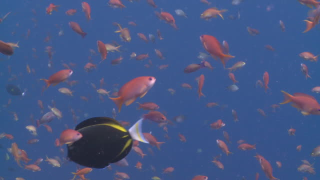 mixed school of anthias and other reef fishes in blue water, moorish idol swims by, nusa lembongan, bali, indonesia - moorish idol stock videos and b-roll footage