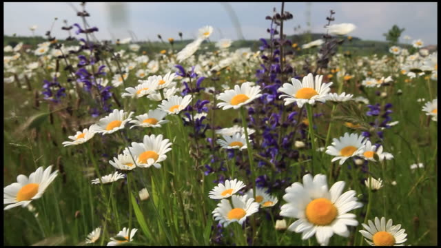 mixed wild flowers blowing in wind, ardeche, france - daisy stock videos & royalty-free footage
