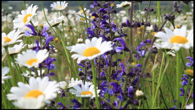 vidéos et rushes de mixed wild flowers blowing in wind, ardeche, france - marguerite