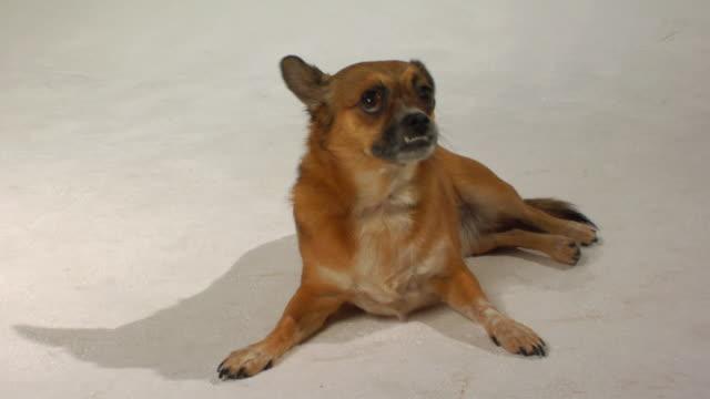 ms mixed-breed chihuahua lying on floor and looking up / boston, massachusetts, usa - 横向きに寝る点の映像素材/bロール