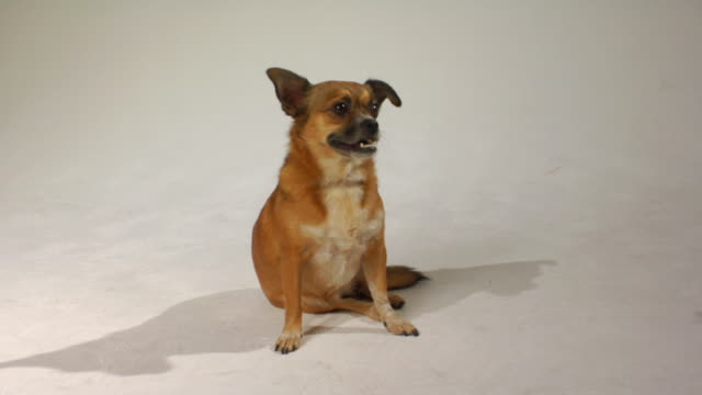 ms mixed-breed chihuahua sitting on floor and looking up / boston, massachusetts, usa - chihuahua dog stock videos and b-roll footage