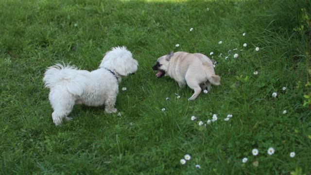mixed-breed dog and a maltese dog playing in the park - two animals stock videos & royalty-free footage
