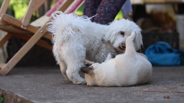 mixed-breed dog and a maltese dog playing in the yard - maltese dog stock videos and b-roll footage