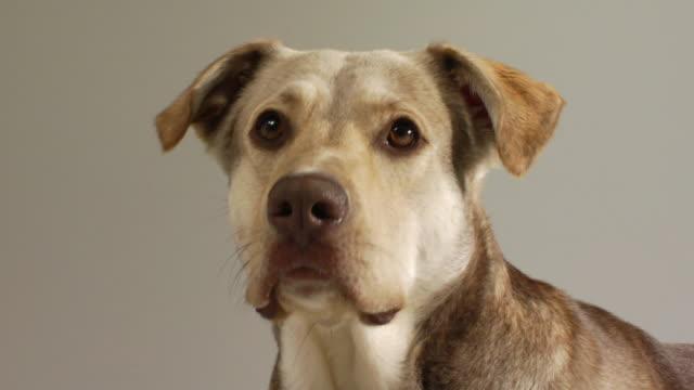 SM LA CU Mixed-breed dog licking its nose and panting / Boston, Massachusetts, USA