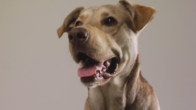SM LA CU Mixed-breed dog panting and looking around / Boston, Massachusetts, USA