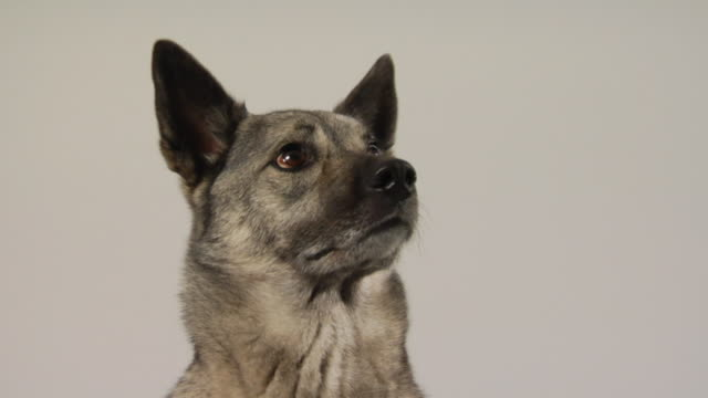 LA CU Mixed-breed German Elkhound looking around / Boston, Massachusetts, USA