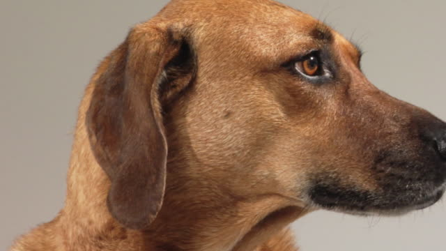 sm cu zo mixed-breed hound dog looking around / boston, massachusetts, usa - brown eyes stock videos and b-roll footage