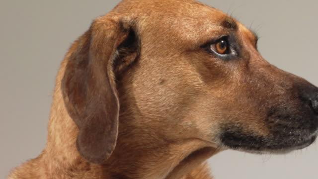 SM CU ZO Mixed-breed hound dog looking around / Boston, Massachusetts, USA