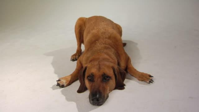 HA MS Mixed-breed hound dog lying on floor / Boston, Massachusetts, USA