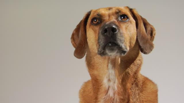 CU Mixed-breed hound dog perking its ears / Boston, Massachusetts, USA