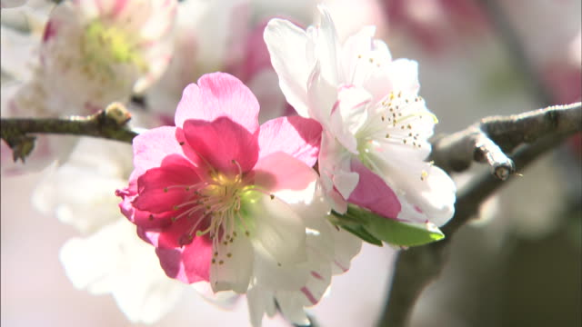 mixture of red and white peach flowers   up - peach stock videos & royalty-free footage