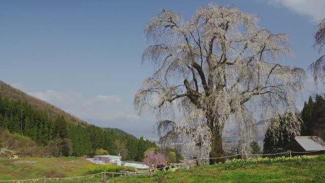 Mizunaka weeping cherry tree in bloom