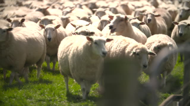 mob of sheep in paddock on farm in southland, new zealand - flock of sheep stock videos & royalty-free footage