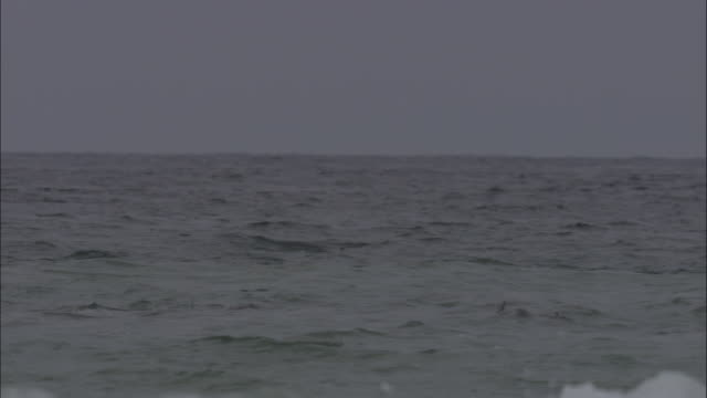 stockvideo's en b-roll-footage met mobula ray leaps from water.  - rugvin