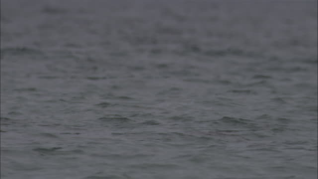 stockvideo's en b-roll-footage met mobula rays dorsal fins emerge from water.  - rugvin