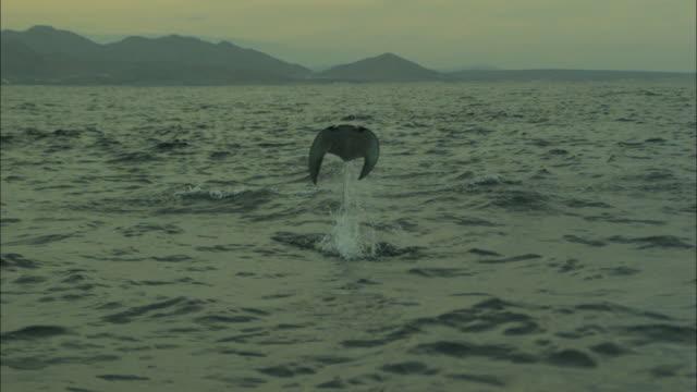 mobula rays leap out of ocean, baja california, mexico. - baja california peninsula stock videos and b-roll footage